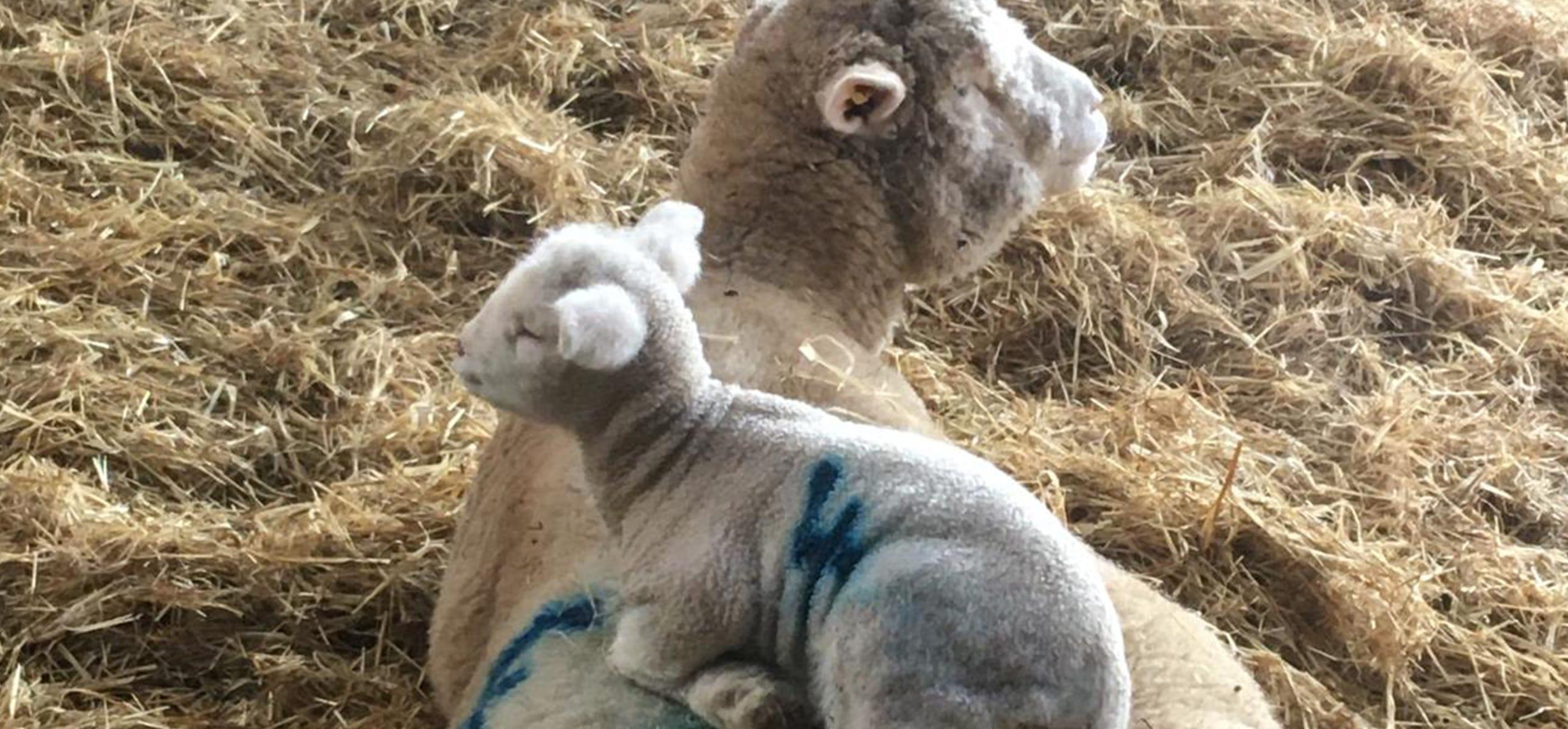 Lamb on The Chedington Estate