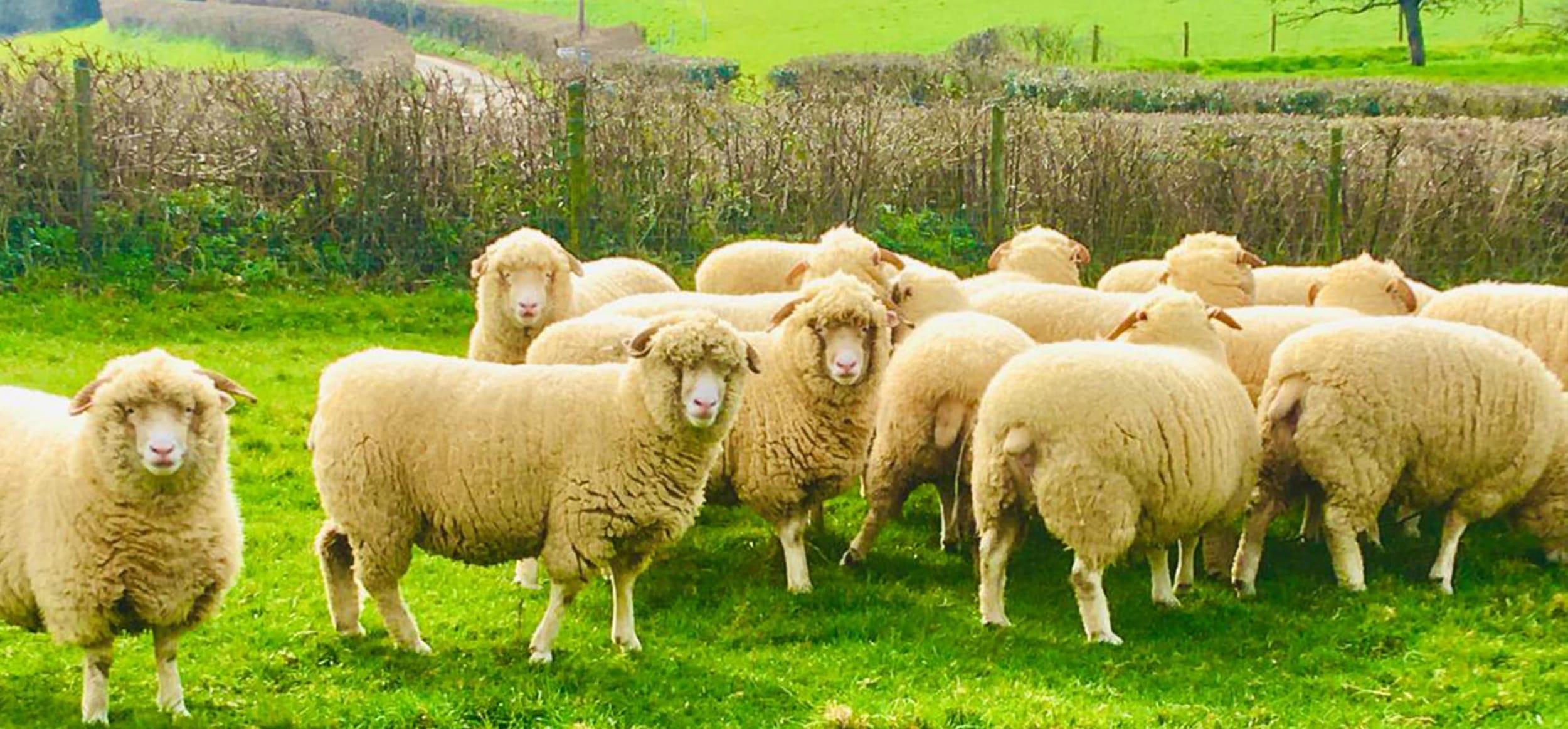 Sheep grazing on The Chedington Estate